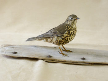 Mistle Thrush by Jack Fishwick