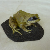 Frog by James Dickinson