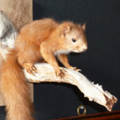 Red Squirrel by James Dickinson 2012