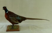 Pheasant by Michael Dunne 2012