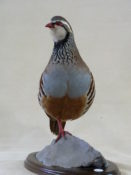 Red-legged Partridge by Mike Gadd 2012