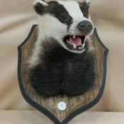 Badger Head