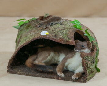 Stoat by Heather Beadle 2010