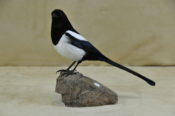 Magpie by Jack Fishwick