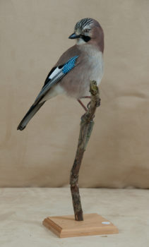 Jay by William Hales