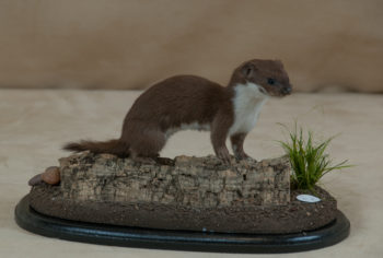 Weasel by William Hales