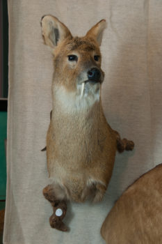 Chinese Water Deer by Steve Newcombe