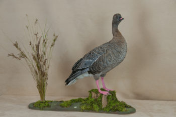 Pink-footed Goose by Lee Hutchinson