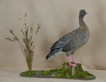 Pink-footed Goose by Lee Hutchinson 2010