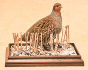Grey Partridge by Dave Hornbrook 2008