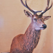 Red Stag Head 2008