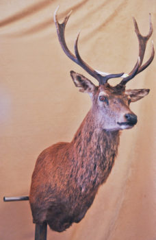 Red Stag Head