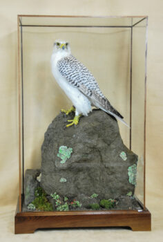 Gyrfalcon by Dave Hollingworth 2009