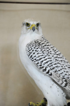 Gyr Falcon by Dave Hollingworth