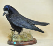 Rook by Stewart Barber 2009