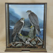Gyr Falcons by Peter Scott