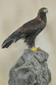 Golden Eagle by Mike Gadd 2009