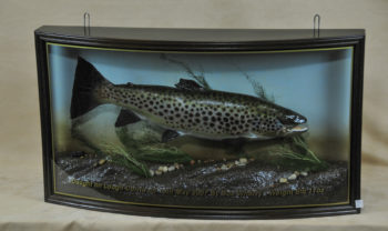 Brown Trout by William Hales