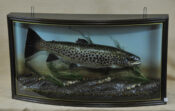 Brown Trout by William Hales 2009