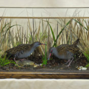 Water Rails by William Hales