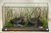 Water Rails by William Hales 2009