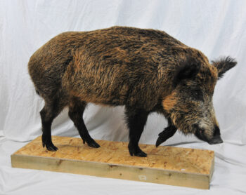 Wild Boar by Paul Taylor 2009