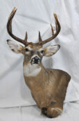 White-tailed Deer by Wayne Pyle 2009
