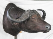 Cape Buffalo by Steve Newcombe 2009