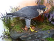 Female Peregrine by Mike Gadd 2011