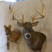 Chinese Water Deer Head & White Tail Deer Head