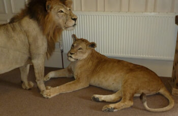 Lions by Stuart Jefferies 2011
