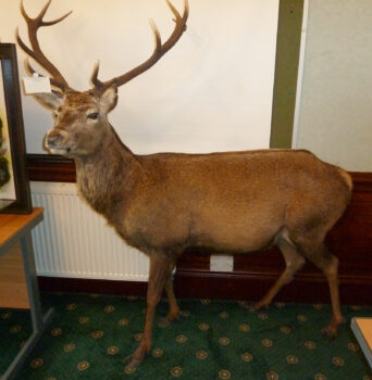 Red Stag by Stuart Jefferies 2011