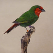 Red-headed Parrot Finch by Dave Irwin 2011