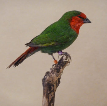 Red-headed Parrot Finch by Dave Irwin