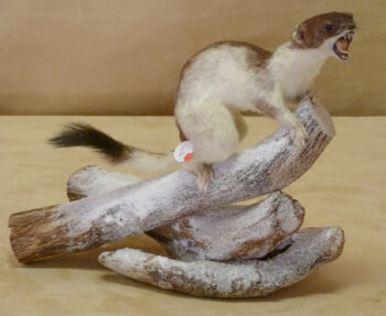 Stoat by Benjamin Rhodes 2011