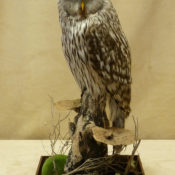 Ural Owl by Dave Hornbrook 2011