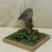 Little Owl 2011