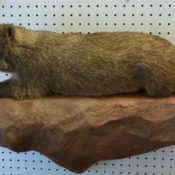 Rock Hyrax by Will Matthews 2011
