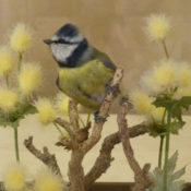 Blue Tit by Dave Hornbrook 2011