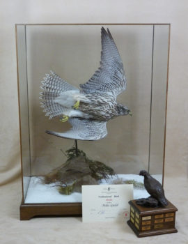 Gyrfalcon by Mike Gadd 2011