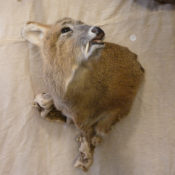 Chinese Water Deer Head