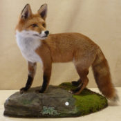 Red Fox by Dave Hollingworth 2011