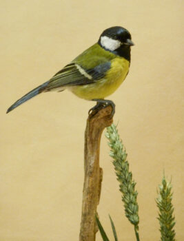 Great Tit by Dave Irwin 2011