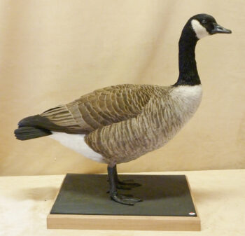 Canada Goose by Barry Wilson 2011