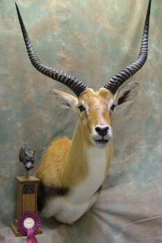 Red Lechwe by Dave Hollingworth 2010