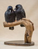 Jackdaws by Sarah Keen