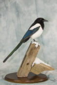 Magpie by Emilie Verity