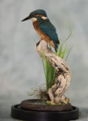 Kingfisher by Emilie Verity
