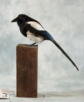 Magpie by Isobel Hiom