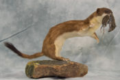 Stoat by Clare Foster